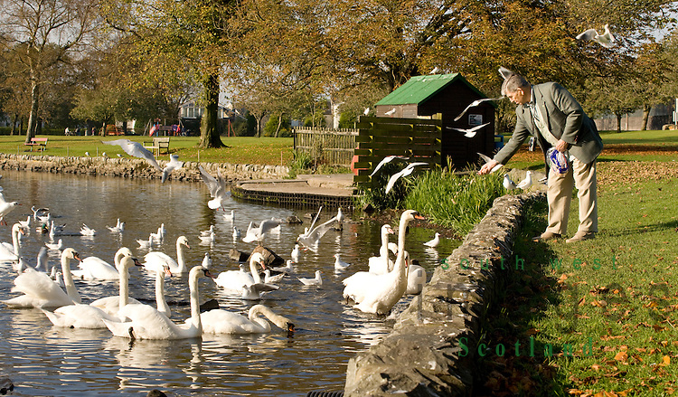 Mute swans and seagulls at Carlingwark Loch waiting to be fed Castle Douglas Scotland UK
