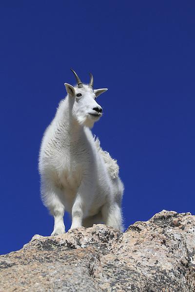 Mountain Goat (Oreamnos americanus) on the slopes of Mount Evans (14250 feet), Rocky Mountains, west of Denver, Colorado, USA .  John leads private, wildlife photo tours throughout Colorado. Year-round.