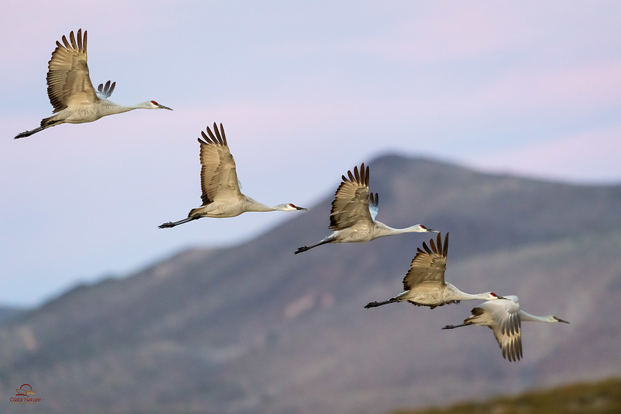 """OK we don't know who comes up with the names for groups of animals. Apparently a group of Sandhill Cranes (Grus canadensis) can be known as a """"construction,"""" """"sedge,"""" """"dance,"""" """"siege"""" or """"swoop"""" of cranes. Clever, huh? Here we fit 5 cranes into the frame, and were happy that 4 were in focus. The slacker at the far right was a little behind the group, taking it out of the zone of focus.<br />  <br /> Bosque del Apache National Wildlife Refuge, New Mexico."""