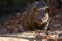 Adult male Fosa {Cryptoprocta ferox} in dry deciduous forest, Kirindy Forest, Western Madagascar, IUCN vulnerable species.