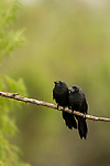 Smooth-billed Ani (Crotophaga ani) pair, Ibera Provincial Reserve, Ibera Wetlands, Argentina