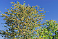 Hawthorn trees and blue sky