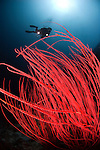Red sea whips, Menella sp., Layang Layang atoll, Sabah, Borneo, Malaysia, South China Sea, Pacific Ocean