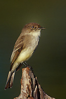 571018062 a wild eastern phoebe sayornis phoebe perches on a dead stump near a small pond on a private ranch in the rio grande valley of south texas