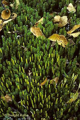 LY03-013z  Club Moss - strobuli, ground pine - Lycopodium annotinum