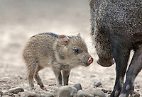 650520086 Javelina Dicolytes tajacu WILD_DLW0238.Baby next to parent.Rio Grande Valley, Texas