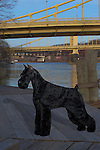Giant Schnauzer<br />