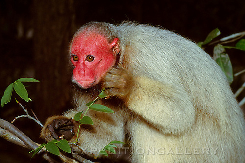 A bald-headed uakari monkey (Cacajao calvus) in Amazon rainforest. This strange looking primate species, known for its unusual bright red face and thick fur, is found only in a few areas of the Amazon region in Brazil and Peru. They feed predominantly on seeds and fruits found in specialized habitats near rivers. Also known as: Bald-headed uacari, Bald Uakari, Red-and-white Uacari, Red Uakari, [Wild Animal]