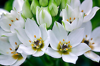 Close up of Star of Bethlehem. (Ornithogalum thyrsoides)