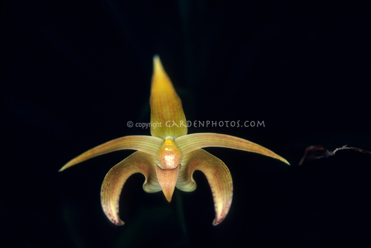 Bulbophyllum lobbii, orchid species