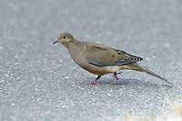 Mourning Dove - Zenaida macroura - 1st winter