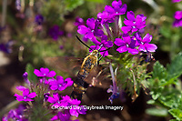 04005-00210 Snowberry Clearwing (Hemaris diffinis)  on Homestead Purple Verbena (Verbena canadensis) Marion Co.  IL