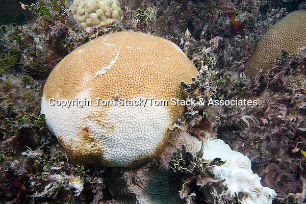 Coral Bleaching, Florida Keys National Marine Sanctuary, Florida