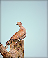 Eurasian Collared-Dove perched on dead tree