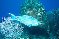 MARINE LIFE: REEFS<br /> Parrotfish<br /> Parrotfish play an important role in bioerosion, found in shallow tropical and subtropical oceans of the world. Their eating habits allow coral sands to be distributed and prevent algae from choking coral.