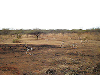 Black buck and deer herd roaming in Sasan Gir forest