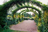 Verbascum next to Wisteria arbor, RHS Garden, Wisley, England