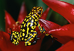 Poison arrow frog, Venezuela