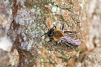 Frühe Weidensandbiene, Frühe Weiden-Sandbiene, Weidensandbiene, Weiden-Sandbiene, Frühe Sandbiene, Sandbiene, Weibchen, Andrena cf. praecox, Small Sallow Mining-Bee, Small Sallow Mining Bee, mining bee, burrowing bee, female, Sandbienen, mining bees, burrowing bees, aus der Andrena helvola-Gruppe