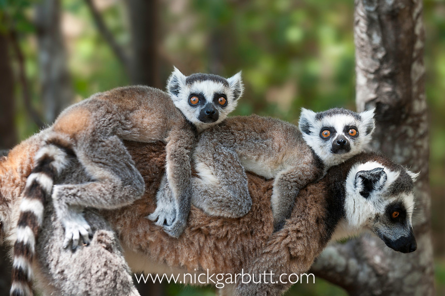 Twin infant Ring-tailed Lemurs (Lemur catta)(4-5 weeks) riding ton mother's back. Anja Reserve, southern Madagascar.