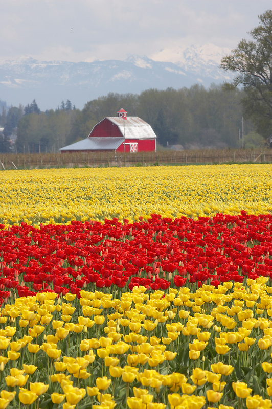 Tulip fields and barn. Tulip Town. Mt. Vernon. Washington