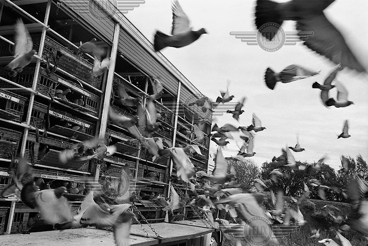 Pigeon liberation - the first young birds' race of the season, in County Durham.