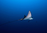 eagle ray in the blue