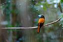 Helmet Vanga (Euryceros prevostii) near nest (Vulnerable). Masoala National Park, north east Madagascar.