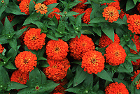 Zinnia 'Dasher Orange' annual flowers