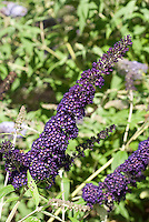 Butterfly Bush Buddleja davidii 'Black Knight'