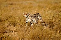 Tanzania Serengeti Nationalpark near Arusha , cheetah / Tansania Serengeti Nationalpark bei Arusha , Gepard