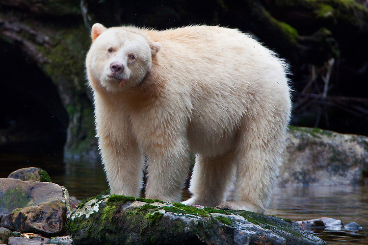"Kermode ""Spirit"" Bear enjoying a salmon"