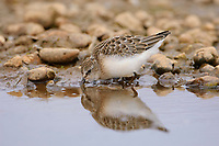 Juvenile Semipalmated Sandpiper (Calidris pusilla) foraging prior to its first migration south. Deadhorse, Alaska. july.