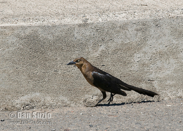 Female great-tailed grackle, Quiscalus mexicanus, on a roadside near the Tarcoles River, Costa Rica