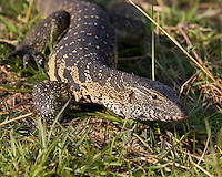 African water monitor, Varanus salvator, Chobe River, Caprivi Strip,