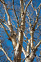 Erman's birch (Betula ermanii), late October.