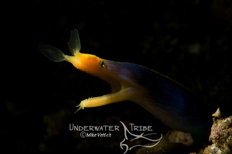 Blue Ribbon eel portrait, Rhinomuraena quaesita, Lembeh Strait, Manado, North Sulawesi, Indonesia, Pacific Ocean