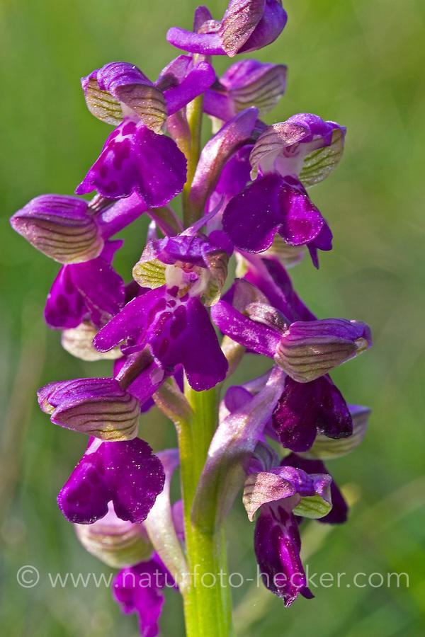 Kleines Knabenkraut, Salep-Knabenkraut, Narrenkappe, Orchis morio, Anacamptis morio, green-winged orchid, green-veined orchid, L'orchis bouffon