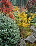 Vashon Island, WA  <br /> Senecio greyii paired with yellow foliage of Japanese maple 'Shishigashira' and accented with the maroon foliage of smoke bush (Cotinus corregio) in fall