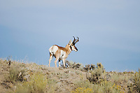 Pronghorn (Antilocapra americana), Yellowstone National Park, Wyoming, USA