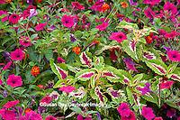 63821-21915 Pink Tidal Wave Petunias, Sun Coleus, and Red Spread Lantana (Lantana camara) Marion Co., IL