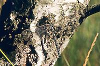 Torf-Mosaikjungfer, Männchen, Torfmosaikjungfer, Mosaikjungfer, Aeshna juncea, Aeschna juncea, Common Hawker, Sedge Darner, Edellibelle, Aeshnidae, Edellibellen, Aeschnidae, hawkers, darners