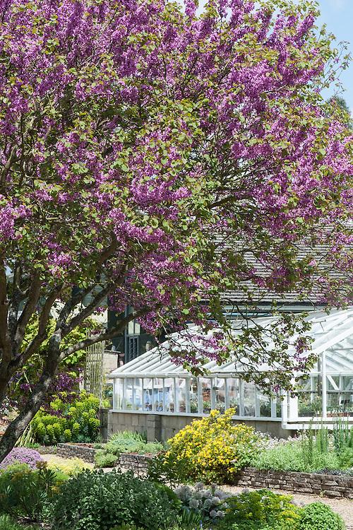 Cercis siliquastrum (Judas tree), Beth Chatto Garden, late May.