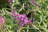 03009-01917 Black Swallowtail (Papilio polyxenes) male on Butterfly Bush (Buddleja davidii) Marion Co. IL