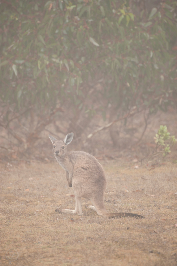 A Western Grey Kangaroo in the mist at Deep Creek Conservation Park, South Australia.