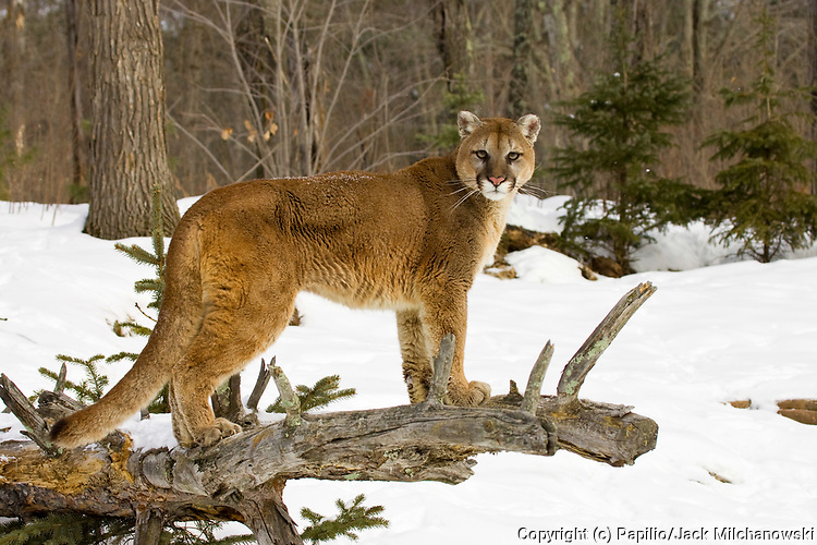 Mountain Lion, Felis concolor, Pine County, Minnesota, USA, animal cat cougar lion mammal mountain-lion panther puma wild wild-cat wildlife winter snow