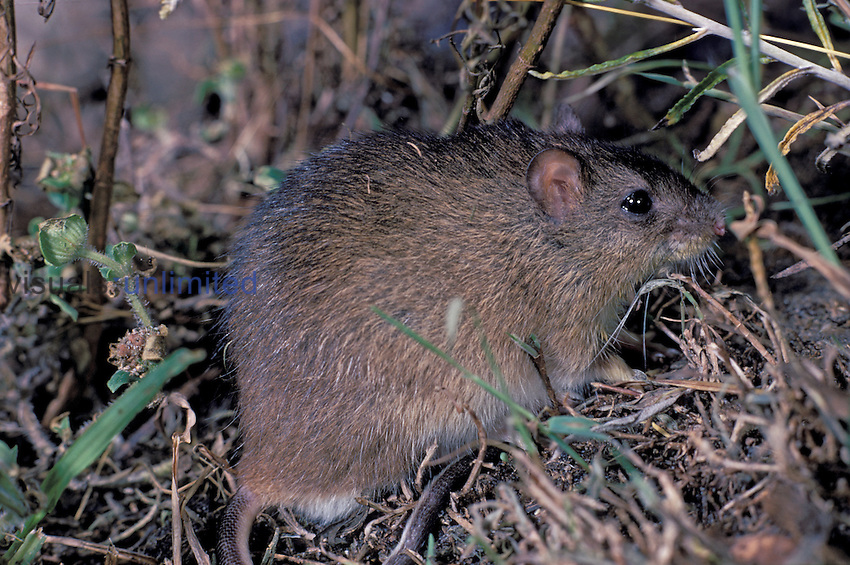 Rice, Marsh, Rat (Oryzomys palustris)