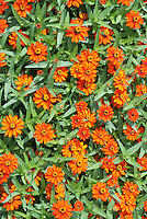 Zinnia angustifolia x elegans 'Profusion Orange' annual flowers