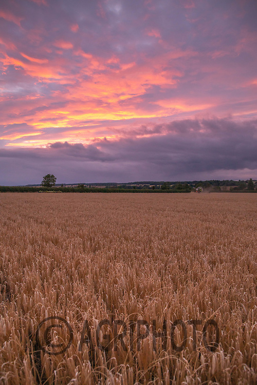 23.7.2020 Winter Barley as the sunsets in Rutland<br /> ©Tim Scrivener Photographer 07850 303986<br />      ....Covering Agriculture In The UK.