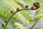 Taveuni, Fiji; detail view of a new growth fern leaf beginning to unfurl